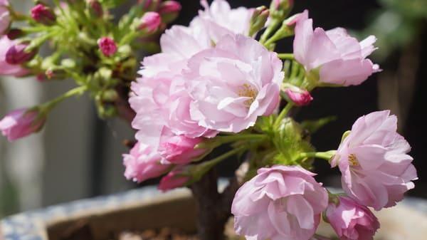 盆栽の旭山桜。お部屋の中でお花見です。