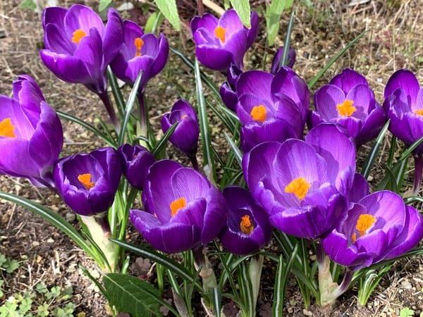 紫色のクロッカスが咲きました。