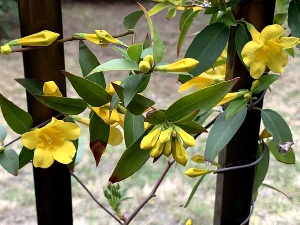 カロライナジャスミンの黄色い可憐なお花が塀に絡んで咲きました。