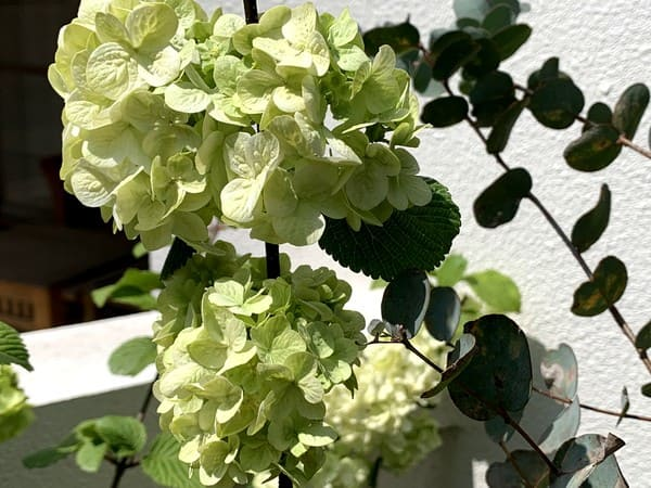 春の朝陽を浴びるオオデマリの花