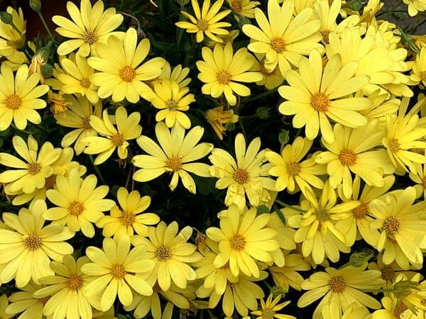 黄色いマーガレットのお花