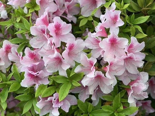 雨上がり。露に濡れた淡いピンクのつづじのお花