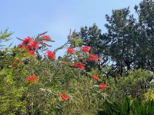 庭のブラシの木に紅い花が咲き始めました。