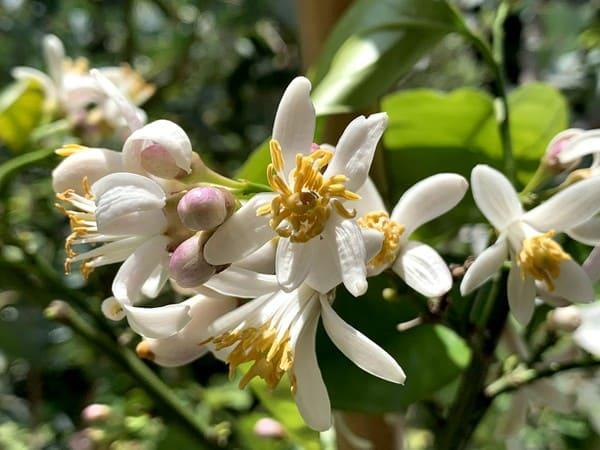 庭木のレモンに白い花が咲きました。。今年のたくさんの実がなりますように。
