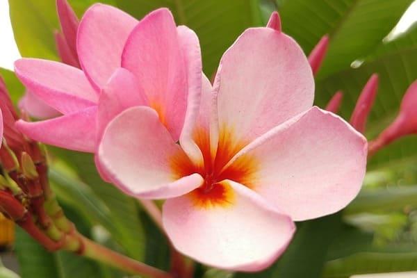 ピンク色のプルメリアのお花
