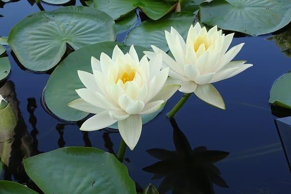 水に浮かぶ7真っ白いスイレンの花