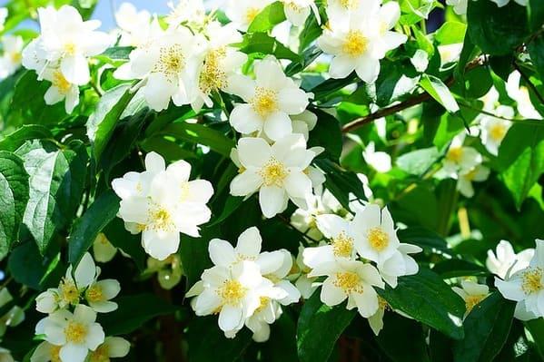 初夏に咲く白いジャスミンの小花