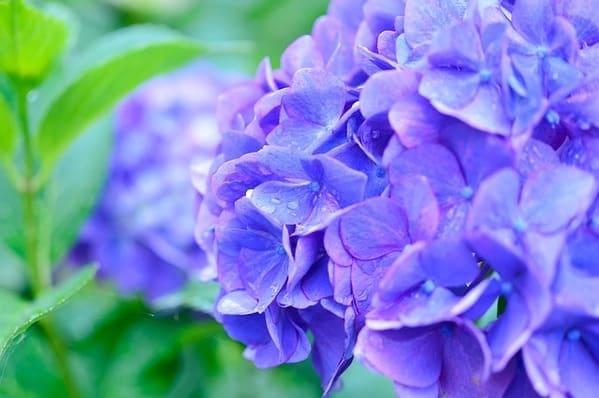 雨に濡れた青い紫陽花